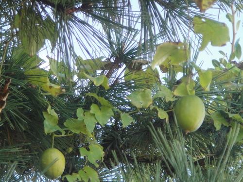 キカラスウリの保護・・・せんなん里海公園唯一の植物_c0108460_22215558.jpg