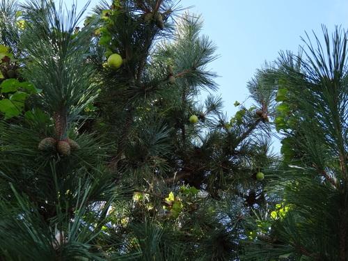 キカラスウリの保護・・・せんなん里海公園唯一の植物_c0108460_22253149.jpg