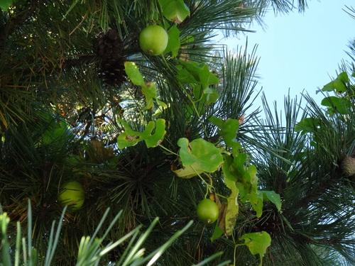 キカラスウリの保護・・・せんなん里海公園唯一の植物_c0108460_2225683.jpg