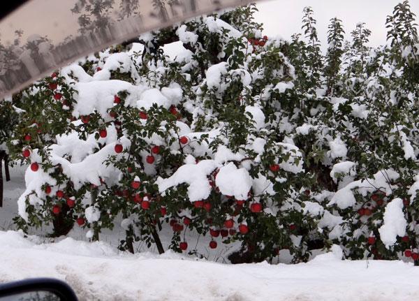 11月の雪。 リンゴ、 スズメ、 シジュウカラ ♪_a0136293_18451477.jpg