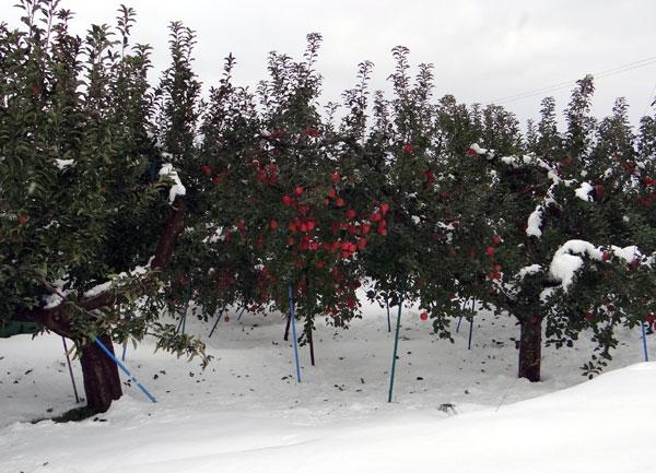 11月の雪。 リンゴ、 スズメ、 シジュウカラ ♪_a0136293_18453476.jpg