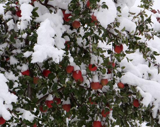 11月の雪。 リンゴ、 スズメ、 シジュウカラ ♪_a0136293_18463065.jpg