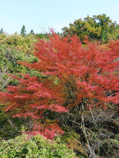 紅葉狩りシーズン到来!! 菊池渓谷の紅葉が見ごろです!_a0254656_1628570.jpg