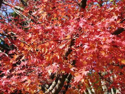 紅葉狩りシーズン到来!! 菊池渓谷の紅葉が見ごろです!_a0254656_1659139.jpg
