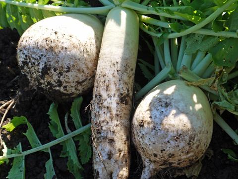 ソラマメ発芽、ハクサイ、コカブ、生姜初収穫11・13~14_c0014967_20211584.jpg