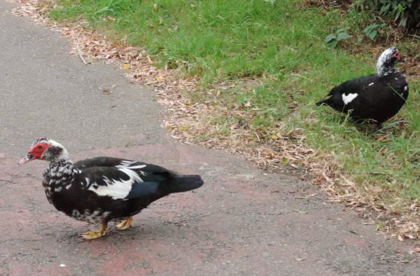 手賀沼に棲む水鳥たち 5_e0200879_11145421.jpg