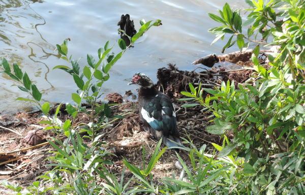 手賀沼に棲む水鳥たち 5_e0200879_11461995.jpg