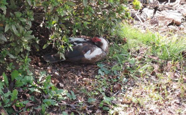 手賀沼に棲む水鳥たち 5_e0200879_11463975.jpg
