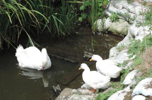 手賀沼に棲む水鳥たち 5_e0200879_1148401.jpg