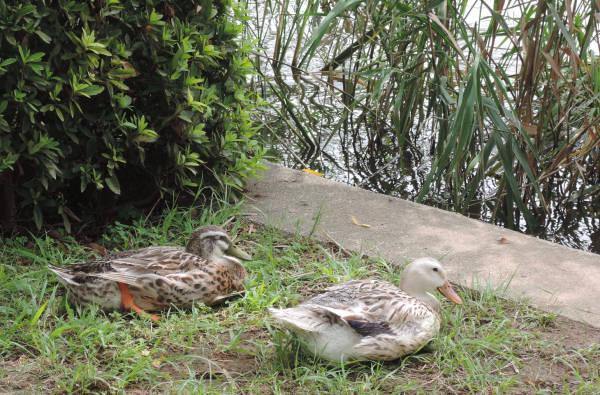 手賀沼に棲む水鳥たち 5_e0200879_11491568.jpg