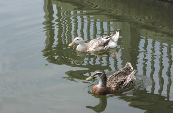 手賀沼に棲む水鳥たち 5_e0200879_11495282.jpg