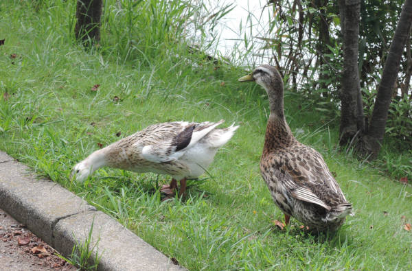 手賀沼に棲む水鳥たち 5_e0200879_11501936.jpg