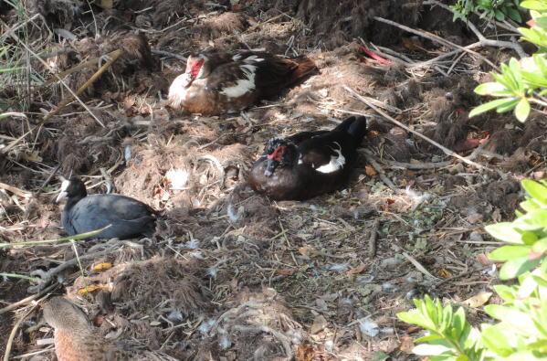 手賀沼に棲む水鳥たち 5_e0200879_11512157.jpg