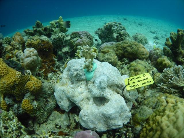 珊瑚の移植をして来ました_c0211615_7462579.jpg