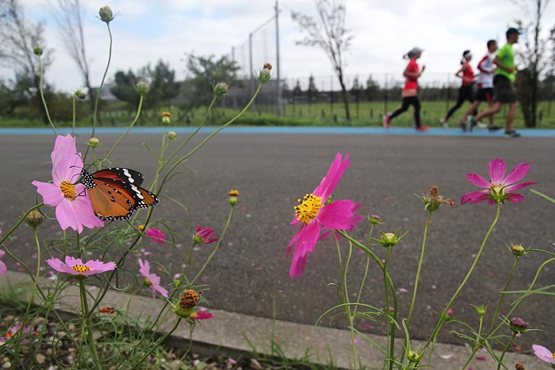 2013年 横浜のカバマダラ(広角②ランナー)_d0054625_23264327.jpg