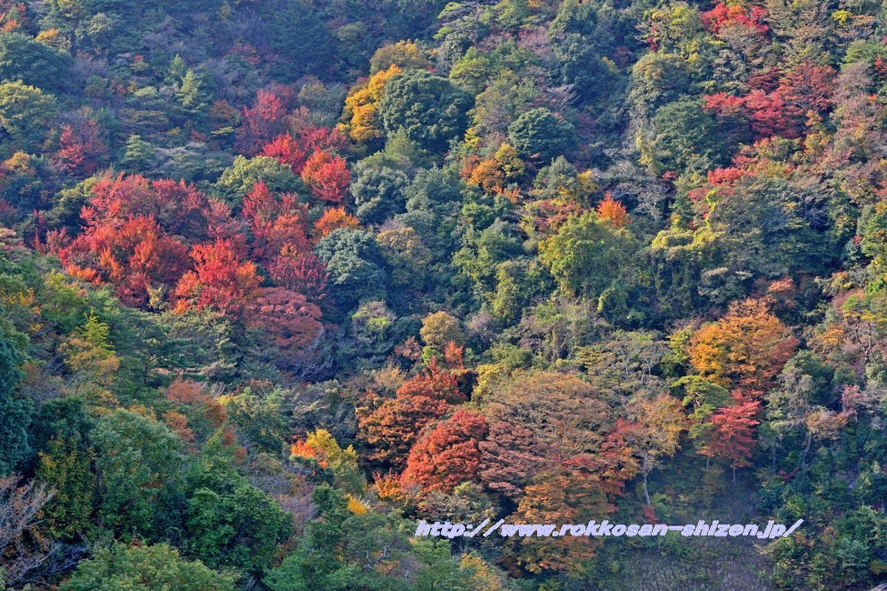 ロープウェイから眺めた六甲山の紅葉_c0129047_21405979.jpg