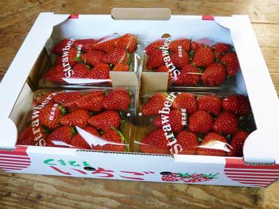 紅ほっぺ 熊本産高級イチゴ『紅ほっぺ』の初出荷は11月26日に決定!!_a0254656_14345458.jpg