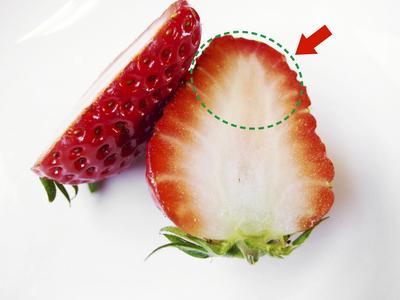 紅ほっぺ 熊本産高級イチゴ『紅ほっぺ』の初出荷は11月26日に決定!!_a0254656_14522878.jpg