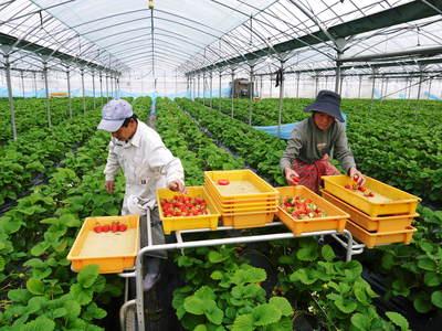 紅ほっぺ 熊本産高級イチゴ『紅ほっぺ』の初出荷は11月26日に決定!!_a0254656_15372569.jpg