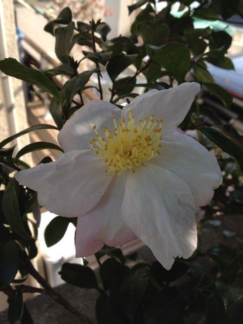 家のお花~冬のお花_e0152493_1252294.jpg