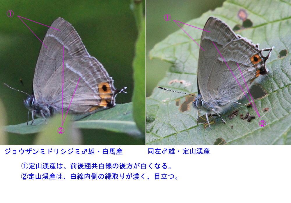 ジョウザンミドリシジミ  和名由来地産は特異な斑紋だった。 2013.7.15北海道26_a0146869_23231652.jpg