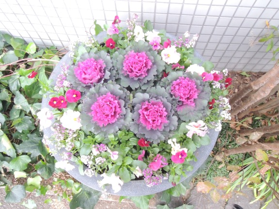 ハボタンは正月の花というイメージ払拭・・・・・・バラみたいです_b0137969_193852.jpg
