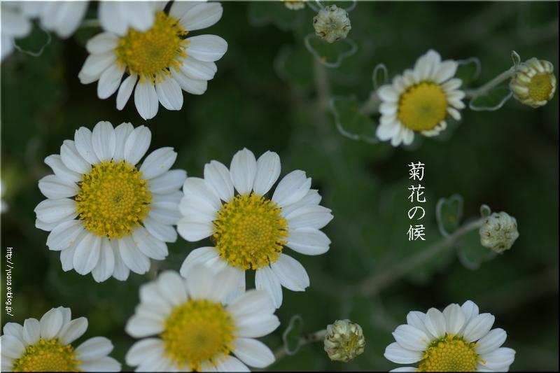 菊花の候_f0156117_07155076.jpg