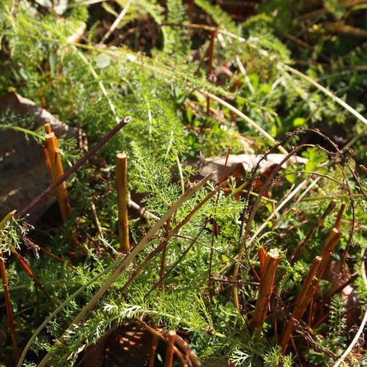 初雪の後のお庭のハーブの様子_a0292194_11211523.jpg