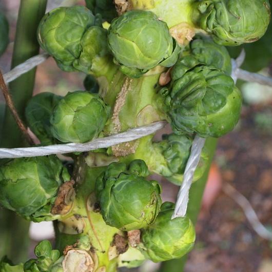 芽キャベツは冬の間も食べられるそうです_a0292194_14541582.jpg