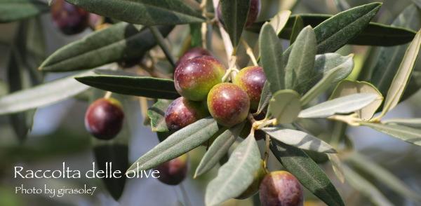 オリーブ収穫/お客様初見学_a0207108_7572671.jpg