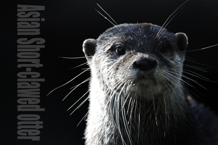 コツメカワウソ:Asian Short-clawed otter_b0249597_5222932.jpg