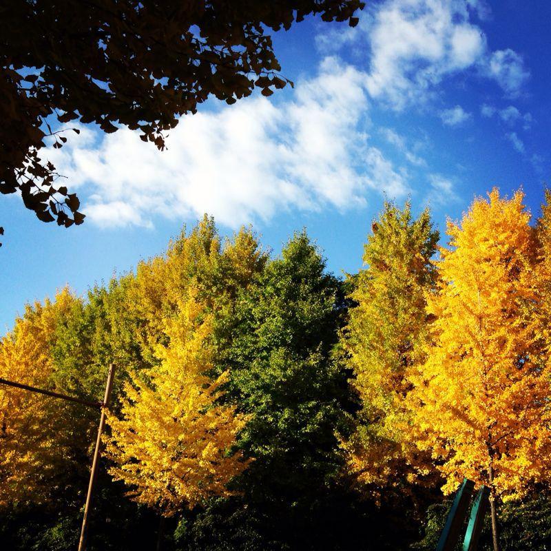 京都の銀杏並木_b0277377_1119448.jpg