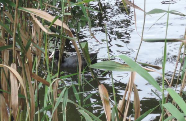 手賀沼に棲む水鳥たち 6_e0200879_12464897.jpg