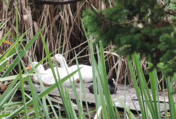 手賀沼に棲む水鳥たち 6_e0200879_1246644.jpg
