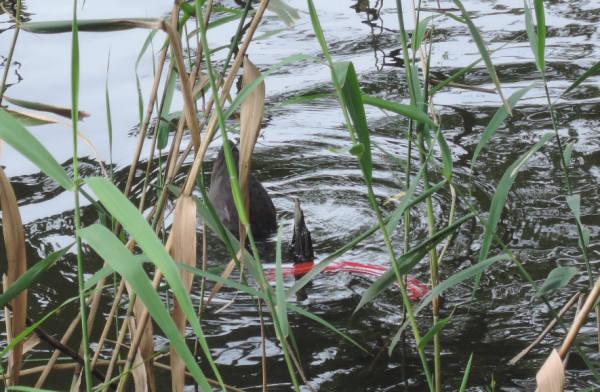 手賀沼に棲む水鳥たち 6_e0200879_1247629.jpg