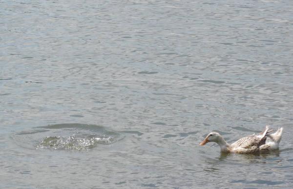 手賀沼に棲む水鳥たち 6_e0200879_12505348.jpg