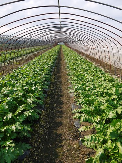 「長尾農園」 安全・安心・美しさにこだわった長尾ブランドの野菜たち_a0254656_18361734.jpg