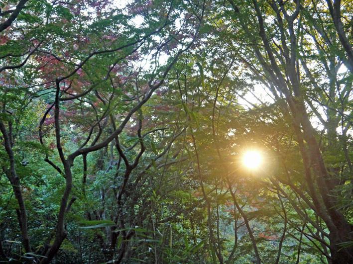 イチョウの紅葉見ごろ、モミジは色付き始める:鎌倉・獅子舞_c0014967_10525491.jpg