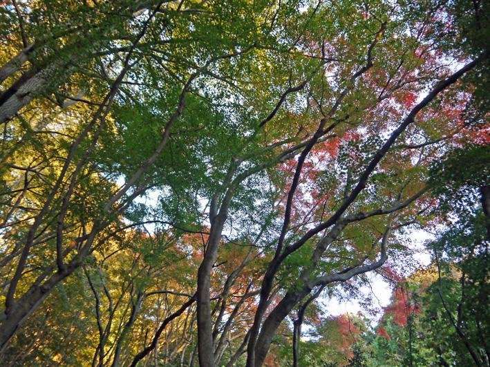 イチョウの紅葉見ごろ、モミジは色付き始める:鎌倉・獅子舞_c0014967_1052748.jpg