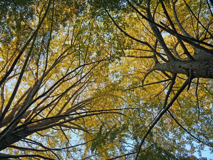 イチョウの紅葉見ごろ、モミジは色付き始める:鎌倉・獅子舞_c0014967_10561763.jpg