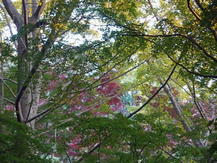 イチョウの紅葉見ごろ、モミジは色付き始める:鎌倉・獅子舞_c0014967_10564532.jpg