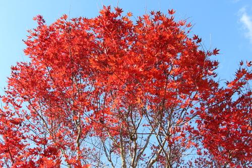 アトリエの庭の紅葉_e0054299_14425513.jpg