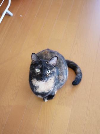 猫のお友だち ワサビちゃん天ちゃんう京くん編。_a0143140_23423595.jpg