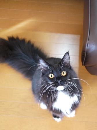 猫のお友だち ワサビちゃん天ちゃんう京くん編。_a0143140_23434029.jpg