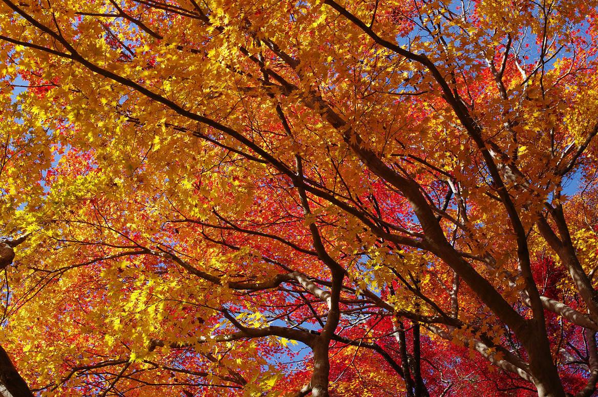 京都の紅葉 2013 〜金蔵寺〜_f0152550_045415.jpg