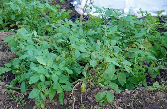 秋作のジャガイモ(ワセシロ)初収穫(2013・11・19)_c0014967_0263573.jpg