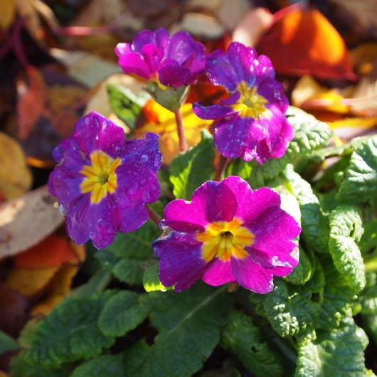 お庭に春のお花が。。。_a0292194_10421394.jpg