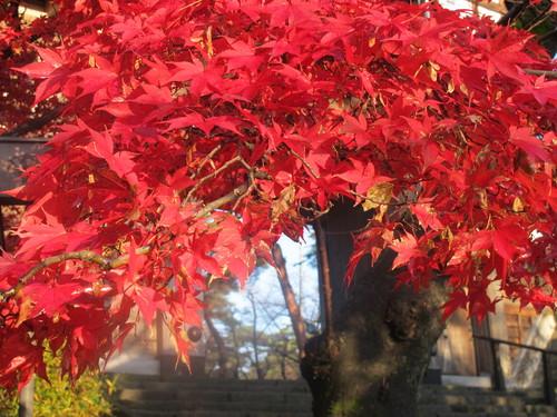 晩秋、千秋公園の紅葉・黄葉・落葉のルクス(lux)・・・その7_c0075701_6132465.jpg
