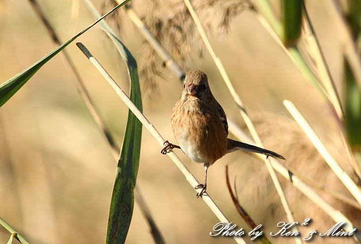 MFの鳥さん達  「ベニマシコ」 さんと 「カワウ」 さん♪_e0218518_223116100.jpg