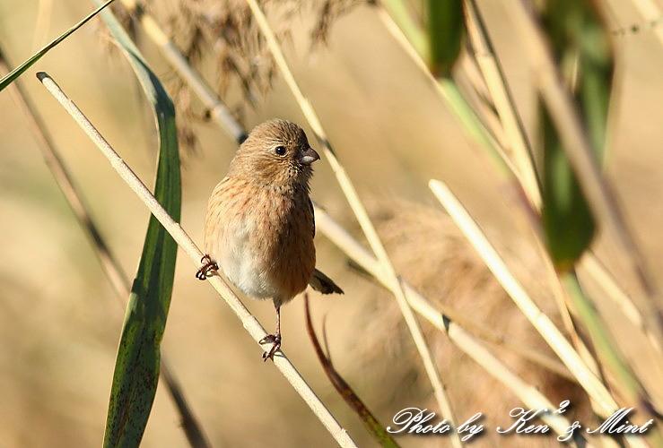 MFの鳥さん達  「ベニマシコ」 さんと 「カワウ」 さん♪_e0218518_22313467.jpg